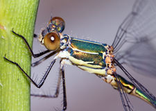 Willow Emerald Damselfly closeup Stock Image