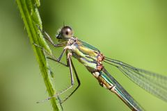 A Willow Emerald Damselfly, on a grass stem. stock image