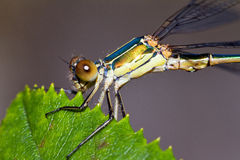 Willow Emerald Damselfly macro Royalty Free Stock Images