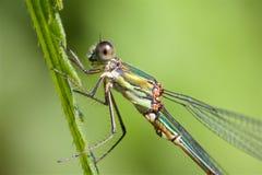 Willow Emerald Damselfly, su un gambo dell'erba immagine stock