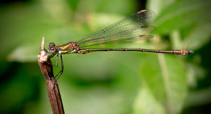 Willow Emerald Damselfly Royalty Free Stock Images