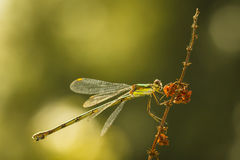 Willow emerald damselfly or western willow spreadwing Stock Photos