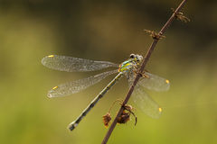 Willow emerald damselfly or western willow spreadwing Royalty Free Stock Photography