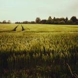 Willow Field Fotografia Stock Libera da Diritti