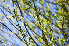Willow flower of an Almond willow Salix triandra. royalty free stock image