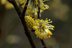 Willow flower. Royalty Free Stock Images