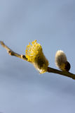 Willow flower. Stock Images