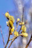Willow flower. Royalty Free Stock Image