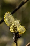 Willow flower. Stock Photography