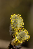 Willow flower. Stock Photo