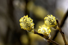 Willow flower. Royalty Free Stock Photography