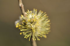 Willow flower. Developed willow flower on a brown twig with visible pollen on the stamens on a brownish gray background Royalty Free Stock Image