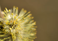 Willow flower. With pollen on the stamens the close-up on brown gray background Royalty Free Stock Image