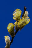 Willow flower Royalty Free Stock Image