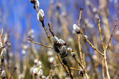 Willow flower. Spring. Stock Images