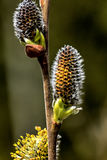 Willow flower. Spring. Stock Photography