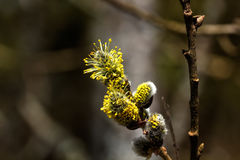 Willow flower. Spring. Stock Photos