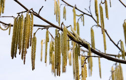 Willow flowers. Wilow flowers hanging from a branch Stock Photography