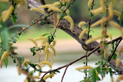 Willow Flowers. In Palm Sunday, the Orthodox churches, it blesses the willow branches. Theres a belief that Willow has miraculous powers: banish the unclean royalty free stock images
