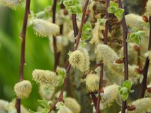 Willow flowers on the stems Young fruit tree bud on blurred background in contrast. Young fruit tree bud on blurred background in contrast and with a green Stock Photography