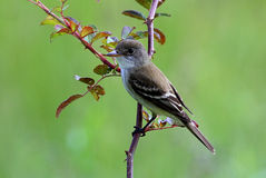 Willow Flycatcher Stock Photos