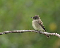 Willow Flycatcher. Perched on a branch with a blurred green background Royalty Free Stock Image