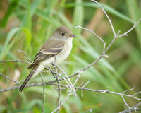 Willow Flycatcher on branch Royalty Free Stock Photography
