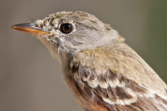 Willow Flycatcher Royalty Free Stock Photography