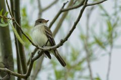 Willow Flycatcher - Empidonax traillii. Willow Flycatcher, originally known as Traill`s Flycatcher and indistinguishable from Alder except by voice and DNA, is Royalty Free Stock Images