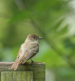 Willow Flycatcher (Empidonax trallii) Stock Image