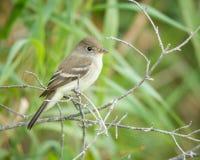 Willow Flycatcher op tak royalty-vrije stock fotografie