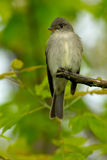 Willow Flycatcher Royalty Free Stock Photos