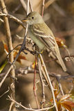 Willow Flycatcher Stock Image