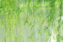 Willow foliage. Verdure pendant willow soft twigs and green leaves before the lake water surface stock photography