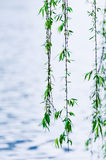 Willow foliage Stock Images
