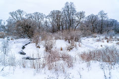 Willow forest along the river with snow Royalty Free Stock Image