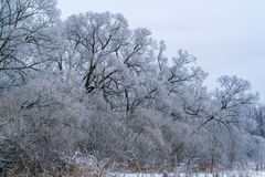 Willow forest along the river with snow Stock Photo
