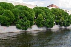 Willow fragile (Salix fragilis L. ) growing along Moika River Em Royalty Free Stock Image