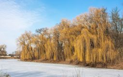 Willow on a frozen lake royalty free stock photo