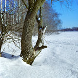 Willow on the frozen river Royalty Free Stock Photo