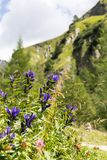 Willow Gentian Gentiana asclepiadea Stock Photos