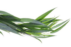 Willow green tree leaves Stock Photos