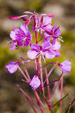 Willow-herb Stock Photos