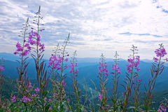Willow herb. The willow herb are blooming in mountians. Scientific name: Chamaenerion angustifolium stock images