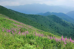 Willow herb. The willow herb are blooming in mountians. Scientific name: Chamaenerion angustifolium stock image