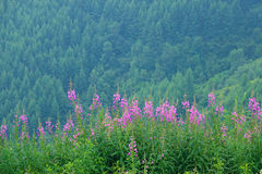 Willow herb. The willow herb are blooming in summer mountain forest. Scientific name: Chamaenerion angustifolium stock image