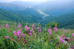 Willow herb. The willow herb are blooming in summer mountains. Scientific name: Chamaenerion angustifolium stock photography