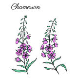 Willow herb, Chamerion angustifolium, fireweed, rosebay hand drawn colorful ink sketch botanical illustration, vector. Willow herb, Chamerion angustifolium Royalty Free Stock Image