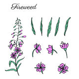 Willow herb, Chamerion angustifolium, fireweed, rosebay hand drawn colorful ink sketch botanical illustration, vector. Willow herb, Chamerion angustifolium Royalty Free Stock Photo