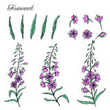 Willow herb, Chamerion angustifolium, fireweed, rosebay hand drawn ink sketch botanical illustration, vector graphic. Flower collection, design bouquet for Stock Photos